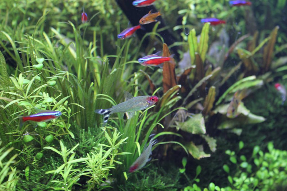 【動画付き】群泳しやすく美しい小型熱帯魚16選