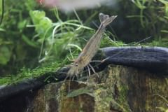 ほうっておくと水草がぼろぼろに!エビによる水草の食害と対策。