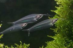 ちょっと変わり種!初心者でも飼いやすい体が透明な小型熱帯魚一覧