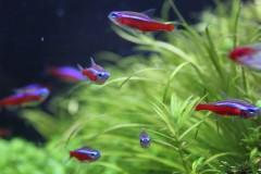 初心者にオススメ!実際に育ててみた中から厳選した、初心者向きの強くて飼育しやすい小型熱帯魚一覧