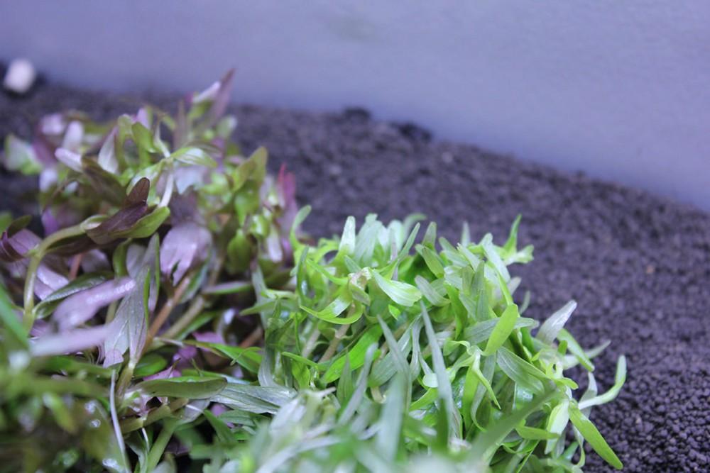 前景・中景・後景別!丈夫で育てやすい初心者にオススメな水草の種類と水草の育て方